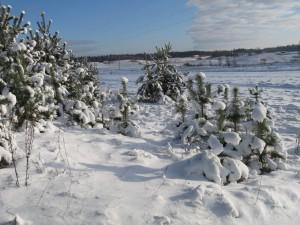 6 января – Сочельник Рождества Христова. По старому стилю 24 декабря. По народным приметам, если небо звёздисто — будет богатый приплод скота и много грибов и ягод.
